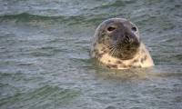 Grey-Seal-2-300px.jpg